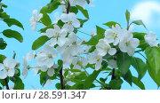 Купить «Apple-tree in bloom», видеоролик № 28591347, снято 13 июня 2018 г. (c) Игорь Жоров / Фотобанк Лори