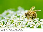 Купить «Bee collects pollen from a flower», фото № 28595427, снято 16 июня 2018 г. (c) Александр Клопков / Фотобанк Лори