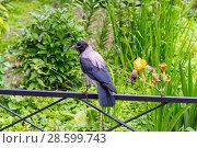 Купить «Серая ворона на ограде газона», эксклюзивное фото № 28599743, снято 18 июня 2018 г. (c) Александр Щепин / Фотобанк Лори