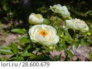 Купить «Пион межвидовой гибрид Лемон Шиффон. Herbaceous Peonies 'Lemon Chiffon' in flower», фото № 28600679, снято 3 июня 2018 г. (c) Ольга Сейфутдинова / Фотобанк Лори