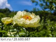 Купить «Пион межвидовой гибрид Лемон Шиффон. Herbaceous Peonies 'Lemon Chiffon' in flower», фото № 28600687, снято 3 июня 2018 г. (c) Ольга Сейфутдинова / Фотобанк Лори