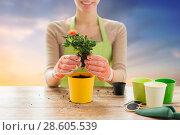 Купить «close up of woman planting rose to flower pot», фото № 28605539, снято 3 марта 2015 г. (c) Syda Productions / Фотобанк Лори