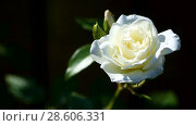 Купить «Beautiful white blooming roses», видеоролик № 28606331, снято 14 июня 2018 г. (c) Peredniankina / Фотобанк Лори