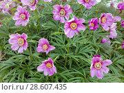 Купить «Пион травянистый. Цветение в начале лета», фото № 28607435, снято 16 июня 2018 г. (c) Наталья Осипова / Фотобанк Лори