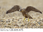 Купить «Peregrine Falcon ( Falco peregrinus ), young adolescent, training its flight skills on the gravelled roof of an industrial building, wildlife, Europe.», фото № 28609475, снято 19 июня 2015 г. (c) age Fotostock / Фотобанк Лори