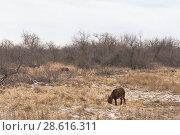 Купить «Зимний пейзаж с пасущимся ослом вблизи города Анапы», фото № 28616311, снято 2 марта 2018 г. (c) Николай Мухорин / Фотобанк Лори