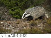 Купить «European Badger ( Meles meles ) in natural surrounding of an autumnal forest searching for food.», фото № 28616431, снято 5 октября 2014 г. (c) age Fotostock / Фотобанк Лори