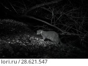 Купить «Otter (Lutra lutra) at night, infra red image. Loutre, Mayenne, France.», фото № 28621547, снято 15 августа 2018 г. (c) Nature Picture Library / Фотобанк Лори