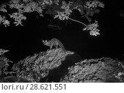 Купить «Genet (Genetta genetta) at night, infra-red image. France. June.», фото № 28621551, снято 15 августа 2018 г. (c) Nature Picture Library / Фотобанк Лори