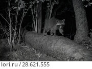 Купить «Racoon (Procyon lotor) male at night, infra red  image, France. Introduced species.», фото № 28621555, снято 16 августа 2018 г. (c) Nature Picture Library / Фотобанк Лори