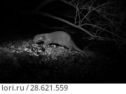 Купить «Otter (Lutra lutra) at night, infra red image.  France. November.», фото № 28621559, снято 15 августа 2018 г. (c) Nature Picture Library / Фотобанк Лори