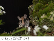 Garden dormouse (Eliomys quercinus), adult, captive. Стоковое фото, фотограф Kerstin  Hinze / Nature Picture Library / Фотобанк Лори