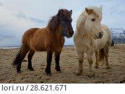 Купить «Icelandic horses, southern Iceland, February 2015», фото № 28621671, снято 16 августа 2018 г. (c) Nature Picture Library / Фотобанк Лори