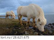 Купить «Icelandic horses, southern Iceland, February 2015», фото № 28621675, снято 16 августа 2018 г. (c) Nature Picture Library / Фотобанк Лори