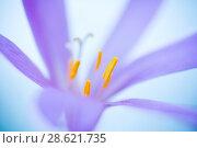 Купить «Close up of flower (Colchicum montanum), Leon province, Castilla y Leon, Spain. August.», фото № 28621735, снято 16 июля 2018 г. (c) Nature Picture Library / Фотобанк Лори