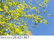 Купить «Березовые сережки. Береза», фото № 28621867, снято 8 мая 2018 г. (c) Evgenia Shevardina / Фотобанк Лори