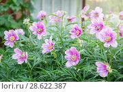 Купить «Цветение пиона в саду», фото № 28622387, снято 17 июня 2018 г. (c) Наталья Осипова / Фотобанк Лори