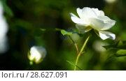 Купить «Beautiful white blooming roses», видеоролик № 28627091, снято 23 июня 2018 г. (c) Peredniankina / Фотобанк Лори