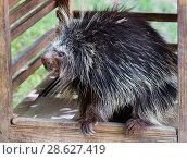 Североамериканский дикобраз (англ. North American Porcupine) Стоковое фото, фотограф Галина Савина / Фотобанк Лори