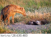 Купить «Spotted hyena (Crocuta crocuta) and pups at the den entrance, Masai Mara National Reserve, Kenya.», фото № 28630483, снято 18 июня 2019 г. (c) Nature Picture Library / Фотобанк Лори