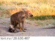 Купить «Spotted hyena (Crocuta crocuta) pup suckling,  Masai Mara National Reserve, Kenya.», фото № 28630487, снято 18 июня 2019 г. (c) Nature Picture Library / Фотобанк Лори