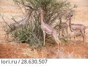 Купить «Group of Gerenuk (Litocranius walleri) feeding on leaves, Samburu National Reserve, Kenya.», фото № 28630507, снято 22 июля 2019 г. (c) Nature Picture Library / Фотобанк Лори