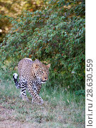 Купить «Leopard (Panthera pardus) male with blue eyes walking, Masai Mara National Reserve, Kenya.», фото № 28630559, снято 17 августа 2018 г. (c) Nature Picture Library / Фотобанк Лори