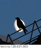 Купить «Black crow sitting on the roof and croaks against full moon at night», фото № 28631063, снято 23 июня 2018 г. (c) Константин Шишкин / Фотобанк Лори