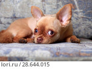 Собака породы чихуахуа лежит на диване. Стоковое фото, фотограф Яна Королёва / Фотобанк Лори