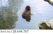 Купить «japanese macaque or snow monkey in hot spring», видеоролик № 28644767, снято 18 июня 2018 г. (c) Syda Productions / Фотобанк Лори