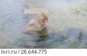Купить «japanese macaque or snow monkey in hot spring», видеоролик № 28644775, снято 18 июня 2018 г. (c) Syda Productions / Фотобанк Лори