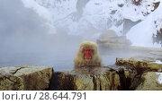 Купить «japanese macaque or snow monkey in hot spring», видеоролик № 28644791, снято 18 июня 2018 г. (c) Syda Productions / Фотобанк Лори
