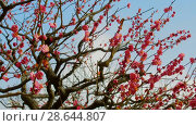 Купить «close up of beautiful sakura tree blossoms at park», видеоролик № 28644807, снято 18 июня 2018 г. (c) Syda Productions / Фотобанк Лори