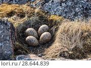 Купить «Гнездо с яйцами кулика-сороки на острое в Белом море. Национальная птица Фарерских островов.», фото № 28644839, снято 17 июня 2018 г. (c) Наталья Волкова / Фотобанк Лори