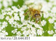 Купить «Bee collects pollen from a flower», фото № 28644851, снято 23 июня 2018 г. (c) Александр Клопков / Фотобанк Лори