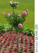 Купить «Штамбовая роза», эксклюзивное фото № 28645295, снято 26 июня 2018 г. (c) Елена Коромыслова / Фотобанк Лори