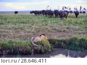 Купить «African lion (Panthera leo) male in front of charging Cape buffalo herd (Syncerus caffer caffer), Masai Mara National Reserve, Kenya, Africa. Sequence...», фото № 28646411, снято 15 июля 2020 г. (c) Nature Picture Library / Фотобанк Лори