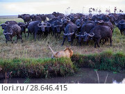 Купить «African lion (Panthera leo) male in front of charging Cape buffalo herd (Syncerus caffer caffer), Masai Mara National Reserve, Kenya. Sequence 5 of 13...», фото № 28646415, снято 23 июля 2018 г. (c) Nature Picture Library / Фотобанк Лори