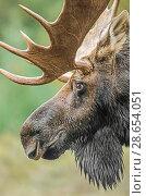 Купить «Moose (Alces alces) bull portrait,  Baxter State Park, Maine, USA.», фото № 28654051, снято 23 июля 2018 г. (c) Nature Picture Library / Фотобанк Лори