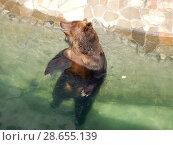 Купить «Бурый медведь сидит в воде открытого вольера. Зоопарк. Город Москва», эксклюзивное фото № 28655139, снято 7 мая 2016 г. (c) lana1501 / Фотобанк Лори