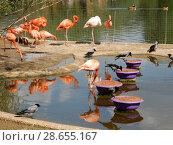 Купить «Стая фламинго обедают. Московский зоопарк», эксклюзивное фото № 28655167, снято 7 мая 2016 г. (c) lana1501 / Фотобанк Лори
