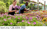 Купить «Man and woman florists working in sunny greenhouse full of flowers», видеоролик № 28659703, снято 27 апреля 2018 г. (c) Яков Филимонов / Фотобанк Лори