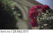 Купить «Flowering bushes in the rose garden, Botanical garden», видеоролик № 28662011, снято 7 июня 2018 г. (c) Ирина Мойсеева / Фотобанк Лори