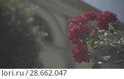 Купить «Flowering bushes in the rose garden, Botanical garden near greenhouse», видеоролик № 28662047, снято 7 июня 2018 г. (c) Ирина Мойсеева / Фотобанк Лори