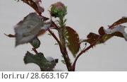 Купить «Тля на розе. Aphids on rose branch», видеоролик № 28663167, снято 12 июня 2018 г. (c) Ольга Сейфутдинова / Фотобанк Лори