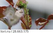 Купить «Тля на розе. Aphids on rose branch», видеоролик № 28663175, снято 19 июня 2014 г. (c) Ольга Сейфутдинова / Фотобанк Лори