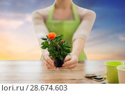 Купить «gardener hands holding flower pot with rose», фото № 28674603, снято 3 марта 2015 г. (c) Syda Productions / Фотобанк Лори