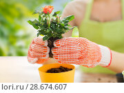 Купить «close up of woman planting rose to flower pot», фото № 28674607, снято 3 марта 2015 г. (c) Syda Productions / Фотобанк Лори