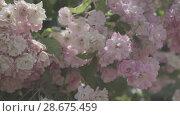 Купить «Flowering bushes in the rose garden, Botanical garden near greenhouse», видеоролик № 28675459, снято 7 июня 2018 г. (c) Ирина Мойсеева / Фотобанк Лори