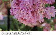 Купить «Flowering bushes in the rose garden, Botanical garden near greenhouse», видеоролик № 28675479, снято 7 июня 2018 г. (c) Ирина Мойсеева / Фотобанк Лори